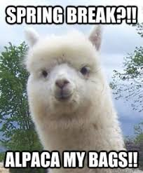 spring break pun meme alpaca
